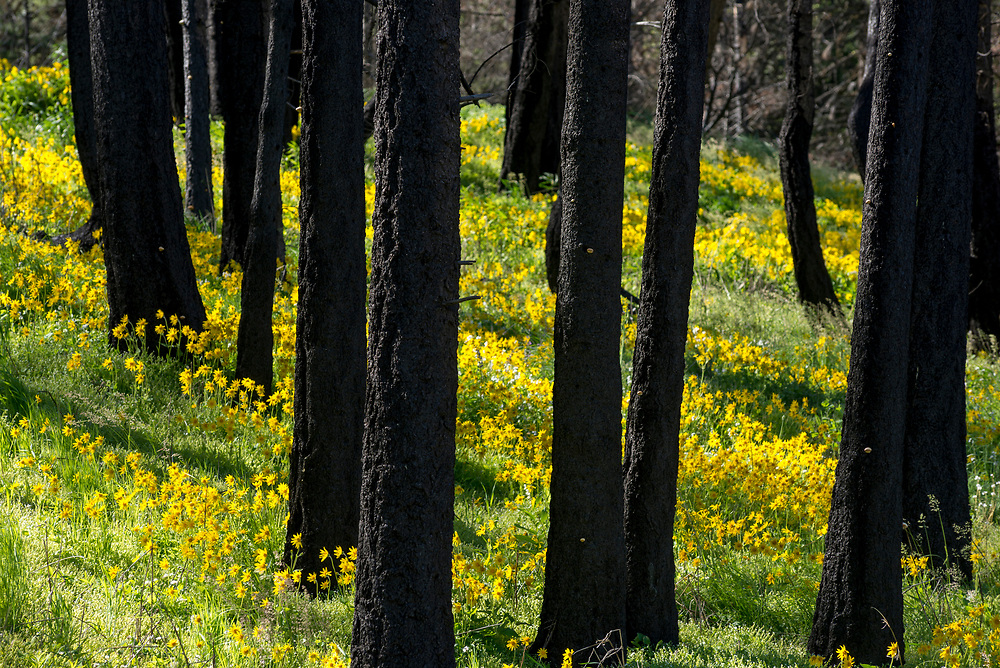 Wildflowers blooming in a recently burned forest, Oregon.