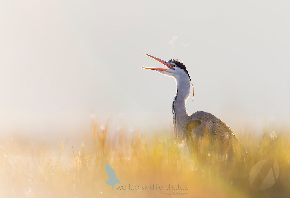 Grey heron in the morning light