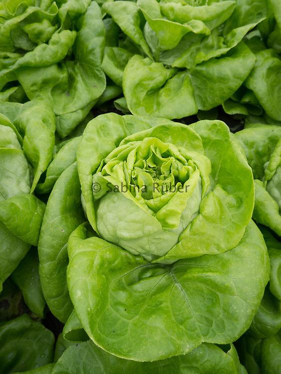 Lactuca sativa - lettuce