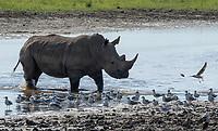 A Southern White Rhinoceros, Ceratotherium simum simum, walks past a flock of Gray-headed Gulls, Larus cirrocdphalus, at the edge of a pond in Lake Nakuru National Park, Kenya