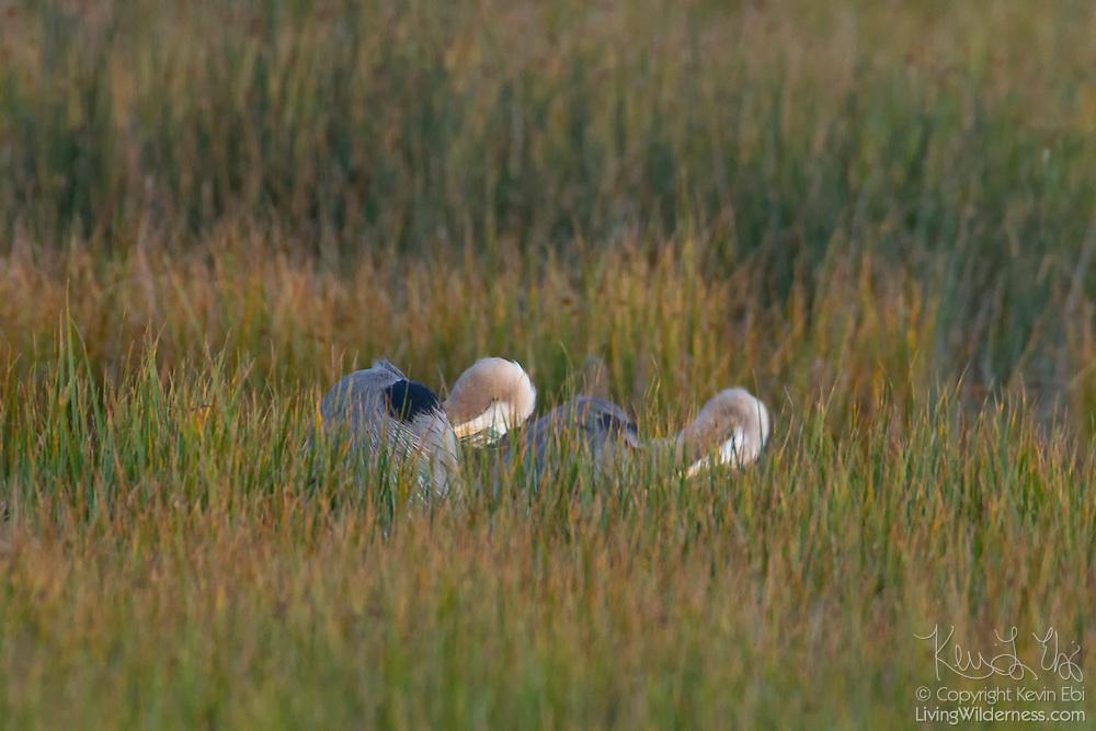 A pair of great blue herons (Ardea herodias) preen among the reeds in the Edmonds Marsh in Edmonds, Washington.