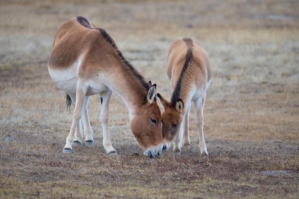 Asian Wild Ass, or Kiang, Equus kiang, Keke Xili / Hoh Xil nature reserve, Tibetan plateau, Qinghai, China