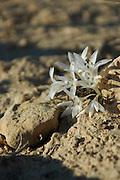 Israel, Negev plains, Negev Lily - Pancratium sickenbergeri