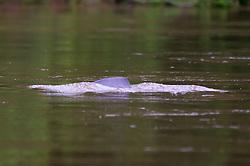 Pink Amazon River Dolphin, Tiputini