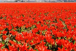 Red Tulip, Tulipa, Rode tulp, tulpen, Holland, Netherlands