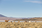 Herd of Llama at Salar de Tara, Atacama Desert. Chile, South America