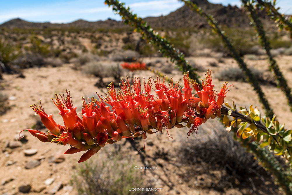 Ocotillo Blossom, Joshua Tree National Park