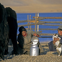MONGOLIA, Darhad Valley. Herding woman (Delgersaikhan) milks family's cattle while her younger brother Cholonnkhu tends their cat.