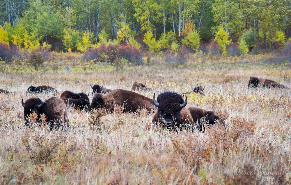 Bison graze and rest in the grassland and forested habitat of the Lake Audy Bison Enclosure at Riding Mountain National Park, Manitoba, Canada<br /> <br /> Prints: https://bit.ly/autumn-Manitoba-bison-1
