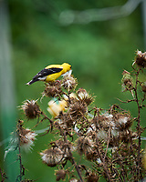 American Goldfinch. Image taken with a Leica SL2 camera and 90-280 mm lens