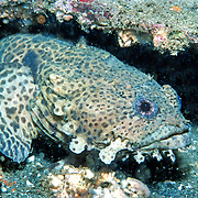 Leopard Toadfish inhabit deep rocky ofshore reefs and artifilcal reefs commonly in recesses in Gulf of Mexixo; picture taken Panama City, Panhandle, FL.