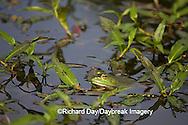 02471-006.02 Bullfrog (Rana catesbeiana) in wetland, Marion Co. IL