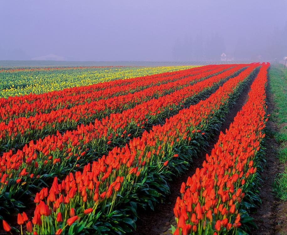 Rows of brilliant red tulips, & distant yellow tulips, Tulip Town, Skagit Valley Bulb Farm, Mt Vernon WA