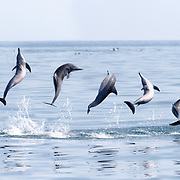 A composite image depicting a spinner dolphin (Stenella longirostris) engaged in the spinning manoeuvre for which these energetic cetaceans are famous.