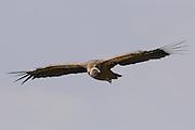 Griffon Vulture, (Gyps fulvus) in flight, Israel July 2007