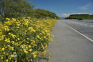 Oxford Ragwort - Senecio squalidus on the roadside, Anglesey, Wales