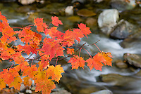 Red maple leaves overhanging a stream in the Green Mountains of Vermont USA