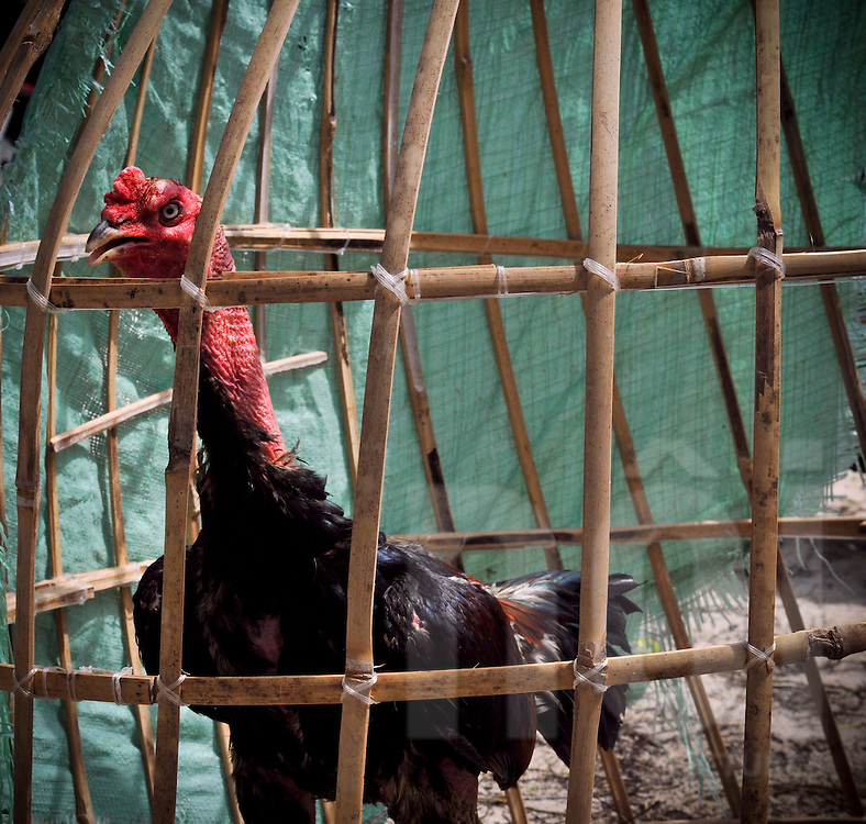 A rooster in his cage before a fight organized by vietnamese gamblers, Cam Ranh, Vietnam, Southeast Asia