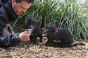 Tasmanian Devil<br /> Sarcophilus harrisii<br /> Greg Irons, Sanctuary Director, with orphaned devil(s)<br /> Bonorong Wildlife Sanctuary, Tasmania<br /> *Captive- rescued and in rehabilitation