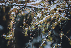 THEMENBILD - Lärchenzweige mit Neuschnee bedeckt, aufgenommen am 03. Dezember 2020, Zell am See, Österreich // Larch branches covered with fresh snow on 2020/12/03, Zell am See, Austria. EXPA Pictures © 2020, PhotoCredit: EXPA/ Stefanie Oberhauser