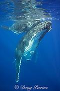 humpback whale, Megaptera novaeangliae, and large calf, Vava'u, Kingdom of Tonga, South Pacific