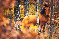 Wild stallion in the forest of Strandzha Mountain