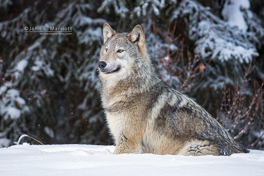 Wild gray wolf.