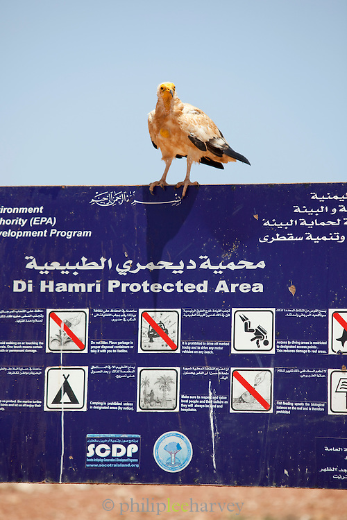 Egyptian Vulture perched on public information sign, Socotra, Yemen