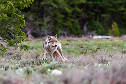 """Alert Pacific Creek Grey Wolf, alpha female, Grand Teton National Park. This is one of four wolves that aborted a elk hunt to see if this slow photographer was an easy meal opportunity.<br /> <br /> 42 megabyte file, max print size = 20X30 inches.<br /> <br /> Read Story: """"Hungry Wolves""""<br /> http://www.the-hole-picture.com/articles/Hungry-Wolves.html"""