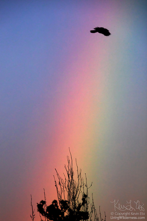 An American crow (Corvus brachyrhynchos) flies through a rainbow after a rainstorm passes over Bothell, Washington.