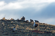 Mle and female Greater Sage grouse gather during the spring mating season.