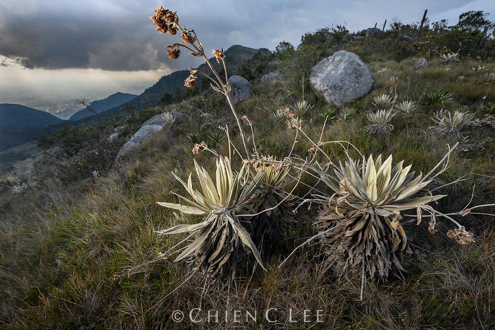 Espeletia grandiflora. Bogota, Colombia.