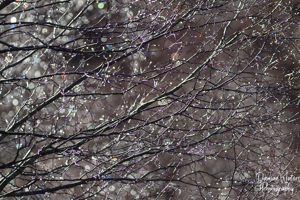 Sunshine lighting up early morning dew on birch trees, Scotland - April