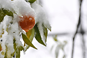 Orange fruit on a tree is covered by snow in a garden During extreme weather in Israel in December