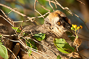 Red-fronted brown lemur, Eulemur rufus, feeding in tree, Berenty National Park, Madagascar, IUCN Red List and listed on Appendix I of CITES