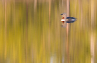 Red-throated diver (Gavia stellata) adult in breeding plumage, Bergslagen, Sweden (abstract)