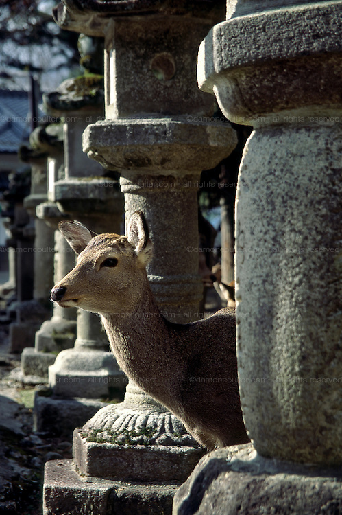 A sika deer among stone lanterns in a temple in Nara, Japan. January 2004