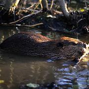 Beaver, (Castor canadensis) Feeding along bank of pond. Southern Manitoba. Canada.