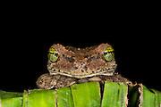 Tree Frog (Osteocephalus sp)<br /> Yasuni National Park, Amazon Rainforest<br /> ECUADOR. South America<br /> HABITAT & RANGE: