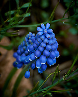 Grape Hyacinth. Image taken with a Nikon 1 V3 camera and 70-300 mm VR lens.