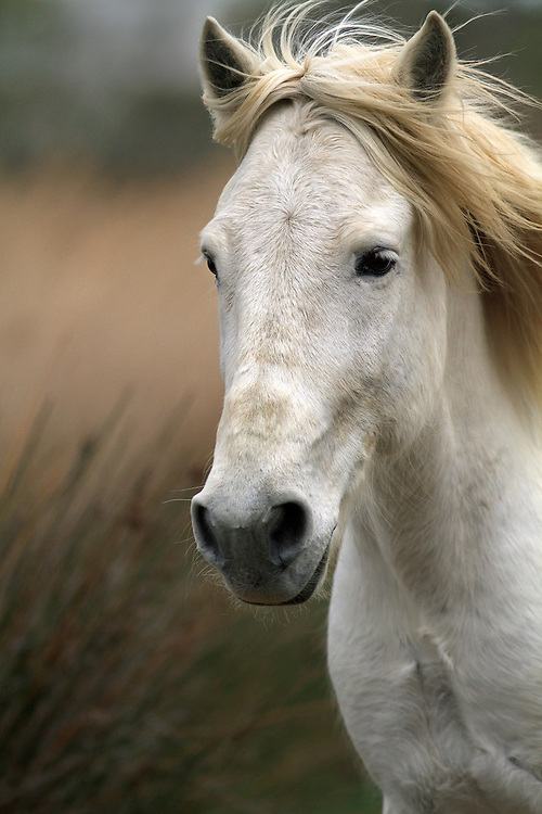 """The Camargue horse's profile  - coarse, heavy Oriental-type, with a slightly primitive appearance. This animal has a strong look with a short neck and straight, upright shoulders. Eyes are large and expressive, ears are broad and short with a broad base, neck is short and muscular, deep at the base.<br /> <br /> Available sizes:<br /> 12"""" x 18"""" print <br /> <br /> See Pricing page for more information. Please contact me for custom sizes and print options including canvas wraps, metal prints, assorted paper options, etc. <br /> <br /> I enjoy working with buyers to help them with all their home and commercial wall art needs."""