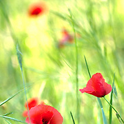 Red poppies on pasture