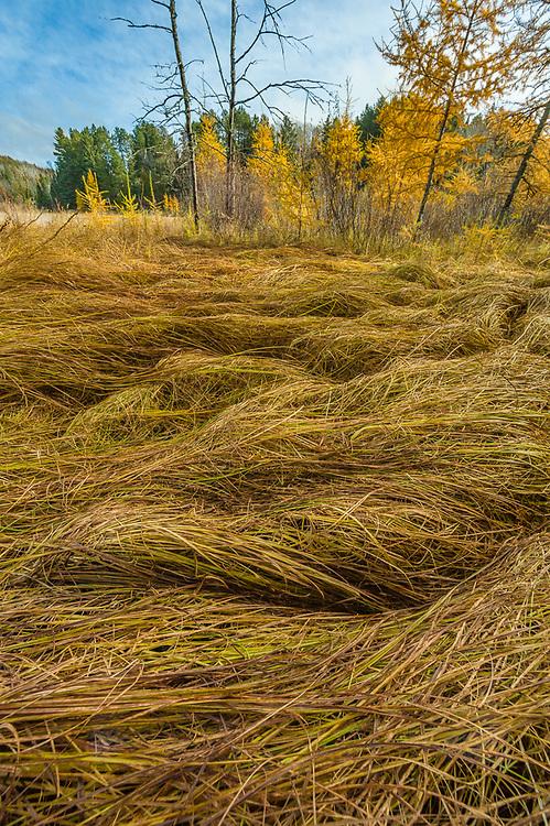 Marsh grasses and shoreline forest, morning light, October, Hubbard County, Minnesota, USA