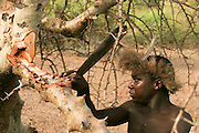 Africa, Tanzania, Lake Eyasi, Hadza men harvesting honey from the hallow in a baobab tree Small tribe of hunter gatherers AKA Hadzabe Tribe