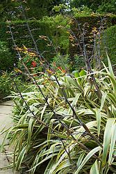 Phormium cookianum subsp. hookeri 'Tricolor' in the exotic garden at Great Dixter. New Zealand Flax