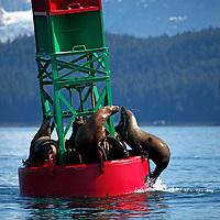 North America, USA, Alaska. Stellar Sea Lions jostle for prime haul out space in Gastineau Channel.