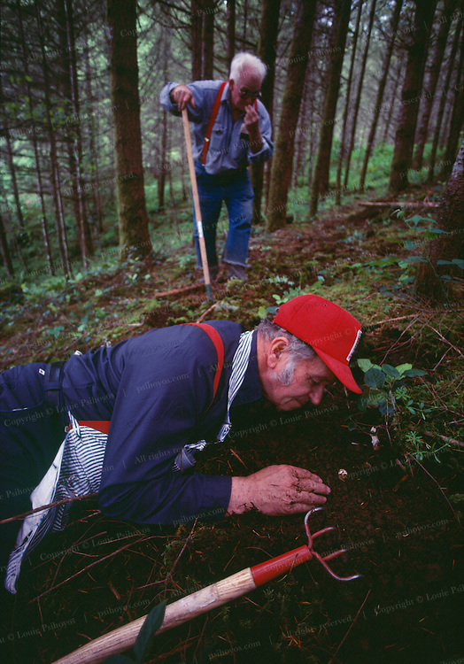 Henry Pavelek in the Oregon forest smelling white truffles. Trufflers use rakes and tree savvy to locate these underground fungi. Under perfect conditions a human nose can easily smell the odor of a ripe white truffle.