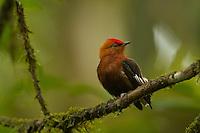 Club-winged Manakin (Machaeropterus deliciosus)..Endemic to Ecuador..Milpe Cloudforest Reserve, Ecuador.