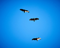 Turkey Vulture. Image taken with a Nikon Df camera and 80-400 mm VRII lens.