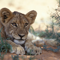 South Africa, Kalahari-Gemsbok National Park, Lion cub (Panthera leo) rests in shade during heat of day near Auob River
